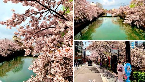 Japan S Cherry Blossom Earliest Peak Since 812 Mkweather